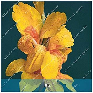 Galleria fotografica ZLKING 1 PCS 15 tipi cinese Gladiolo Fiore lampadina non Seeds Gladiolus aggiornato Alto Tasso di germinazione facile da coltivare Orchid Bonsai 5