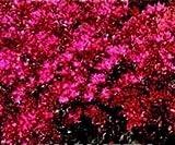 Just Seed - Flower - Sedum spurium coccineum - 2000 Seed