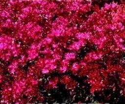 JustSeed - Flower - Sedum spurium coccineum - 2000 Seed