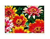45x Zinnie Caroussel mix - Samen Pflanze Garten Blume Saatgut KS356