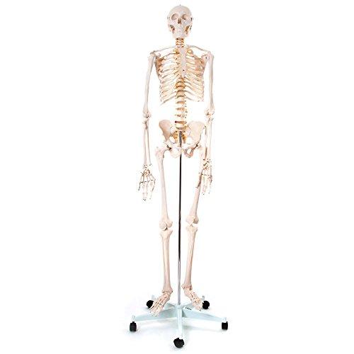 66fit menschliches Skelett mit Ständer (170 cm hoch) zum medizinischen Training -
