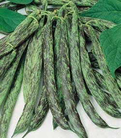 premier-seeds-direct-rare-dwarf-italian-bean-bobis-dalbenga-includes-100-seeds