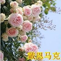 rosas trepadoras que suben patio gastan 100 semillas de flores