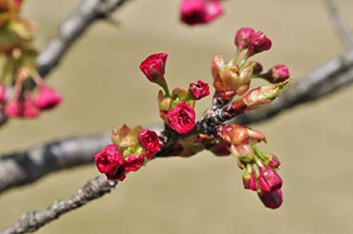 Mon Jardin Secret Graines de Sakura Parfumé, FastDirect Semences 10pcs Rare Fleurs de Cerisier Japonais Bonsaï Décoration Bricolage Jardinage (Sakura D)