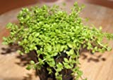 5 Töpfe Perlkraut, Vordergrundpflanze Aquarium