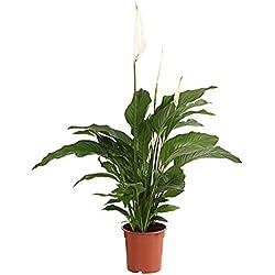 """Dehner Air So Pure Einblatt""""Lauretta"""", großes Blattwerk, ca. 70-80 cm, Zimmerpflanze"""