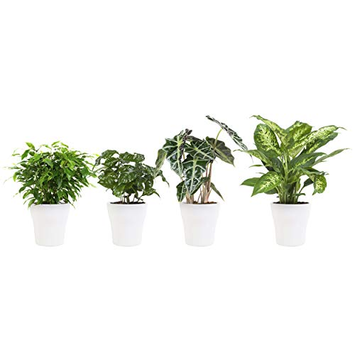 BOTANICLY | 4 × Plantas naturales - Ficus verde rizado