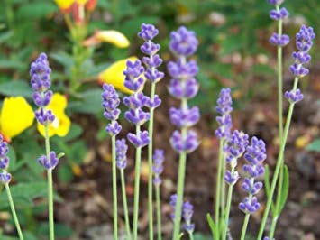PLAT FIRM Lavendel, Vera/Echter Lavendel, Samt, 7500 Samen! Groco - Lavendel Samt