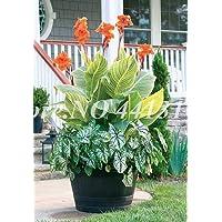 Virtue 200 Piezas/Bolsa Exã³Tico Canna Lily Flore Outdoor & amp; Planta de Flor Ornamental perenne en Maceta Bonsai de Interior para Decoraciã³n de Jardãn de casa Fã¡Cil: 1