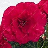 50 PC Bonsai Begonia Samen Mischung Farbe Hybrida Voss Laternen Blumen Begonia Malus Spectabilis chinesischen Bonsai-Garten-Dekoration 21
