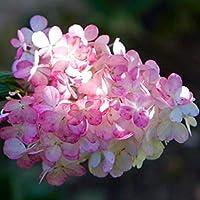 Gankmachine 20pcs/Bag Beauty Strawberry Hydrangea Flower Seeds for Home Garden Planting Seeds