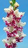 VISTARIC Vrai bon bulbes de lys de qualitÃ, (pas de graines de lys), pot bonsaï plante vivace bulbeuse racine PÃtales double plantes de Lilium facile à cultiver 2 piÚces 13