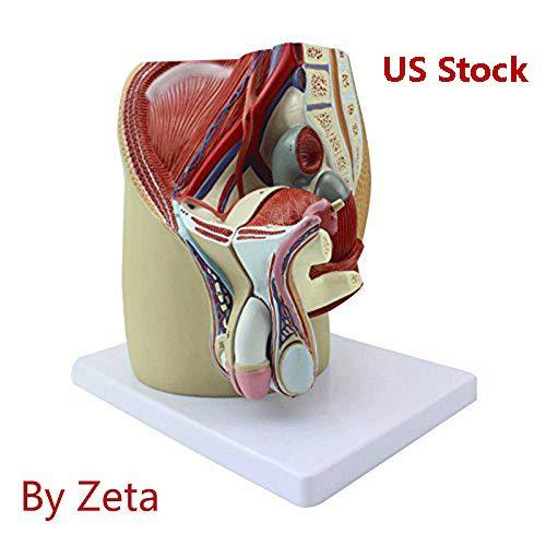 Zeta macho Pelvis macho genitales sistema modelo anatómico humano Anatomía Modelo mediana sagittal sección modelo
