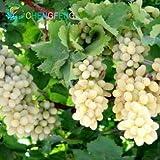 Pinkdose 50pcs sehr seltene Goldfinger Weinrebe Pflanzen Erweiterte Obst Bonsai Natur Wachstum Grape Köstlicher Fruchtpflanzen Für Hausgarten: Clear