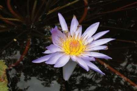 feelingathomeit-stampa-su-tela-100-cotone-intelaiata-violet-water-lily-ii-cm-30x43-dimensioni-person