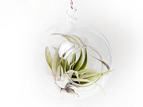 aneto-e-menta-in-vetro-terrario-8-cm-x-8-cm-palline-da-appendere-collegare-il-tuo-stringa-per-lumini