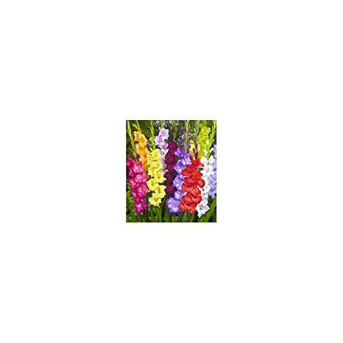 Bulbe Gladiolus Mix à Grande Fleur X10
