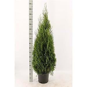 smaragd lebensbaum thuja occidentalis smaragd 80 100 cm hoch im pflanzcontainer garten. Black Bedroom Furniture Sets. Home Design Ideas