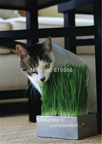 cat-mangiano-lerba-semi-verdi-giardino-esterno-grano-verde-piante-dappartamento-casa-acqua-bonsai-co