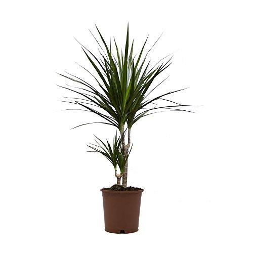 Ananas-Baum, Dracena marginata, 1 Pflanze, 15-17 cm Topf, ca. 50cm hoch
