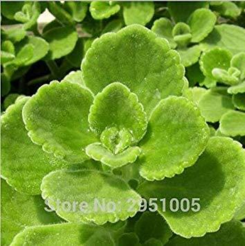 seedsown 50pcs Cuban Oregano Spanisch Thymian mexikanischen Thymian Indian Borretsch Perennial Kräutergarten Bonsai Pflanze DIY freies Verschiffen (Mexikanischer Oregano Pflanze)