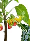 Impatiens niamniamensis - eine bezaubernde Zimmerpflanze für den halb schattigen Standort - für Garten, Balkon oder die Wohnung - Papageienblume - das schönste Springkraut - Kongo Lieschen - Saintpaulia