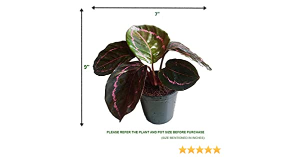 THE FOUR SEASONS CALATHEA ROSEOPICTA DOTTIE RARE IMPORTED VARIETY NATURAL  LIVE PLANT IN POT