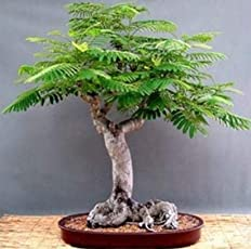 Plant House Live Gulmohar Pre Bonsai Plant with Pot (more than 1 year old)