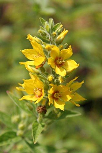 4er-Set im Gratis-Pflanzkorb - Lysimachia vulgaris - Gilbweiderich, gelb - Wasserpflanzen Wolff