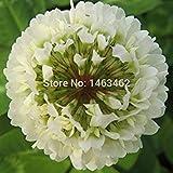 CUSHY 50pcs quadrifoglio Seed casa della decorazione del giardino bonsai  semi di bellezza fortunata