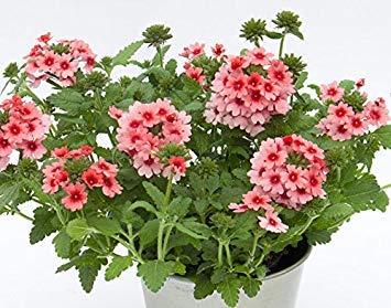 Semillas BloomGreen Co. Flor: hybrida de la verbena Semillas de plantas mixtas para la purificación del aire de jardín [Home Garden Semillas Eco Pack] Semillas de la planta