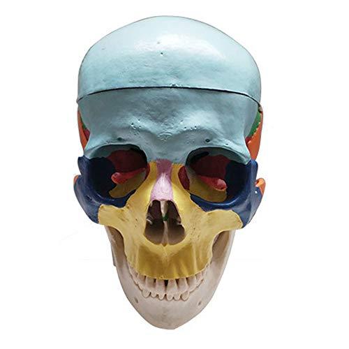 LUCKFY Wissenschaftliches menschliches Anatom-Schädel-Modell Lebensgroßes menschliches Schädel-Anatomiemodell Bemalte Knochen für den Studienunterricht -