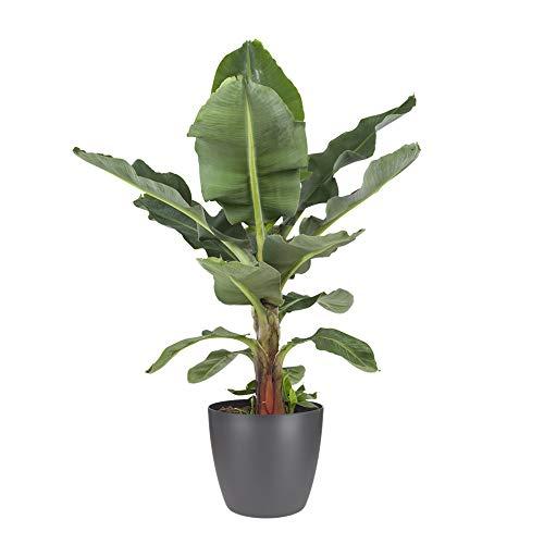 BOTANICLY | Zimmerpflanze – Bananenpflanze | Musa Dwarf cavendish