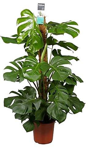 Köstliche Fensterblatt, (Monstera delicosa), pflegeleichte Zimmerpflanze (am Moosstab ca. 75cm hoch, im 19cm Topf)