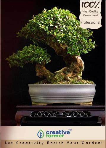 Pinkdose Palisander Roseta Bonsai-Baum-Samen Seed