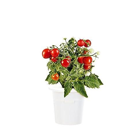 Click & Grow Mini Tomato Refill 3-Pack for Smart Herb Garden