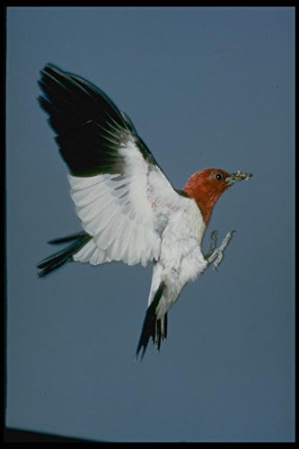 163067 Red headed Woodpecker In Flight A4 Photo Poster Print 10x8 -