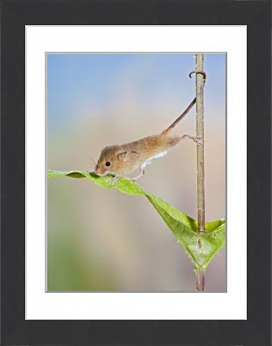 framed-print-of-harvest-mice-on-teasel-using-tail-to-cimb