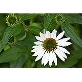 """Premier Seeds Direct ECH03F Purpur-Sonnenhut """"weißer Schwan"""" BlumenSamen (Packung mit 60)"""
