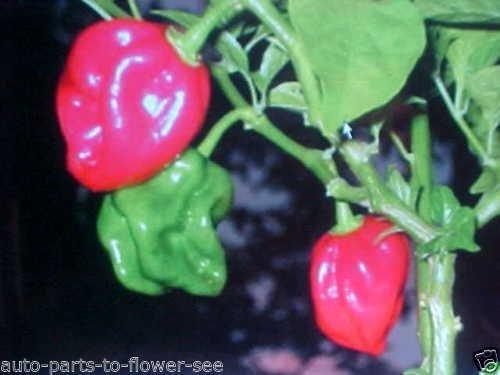 Santa FE Grande Chili Pepper Samen
