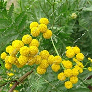 Rainfarn Blumen (Vista Erbstück Rainfarn Samen Bonsai Samen von mehrjährigen Garten Blumen, Pflanzen Saison Blumensamen Outdoor 30 Pcs 2)