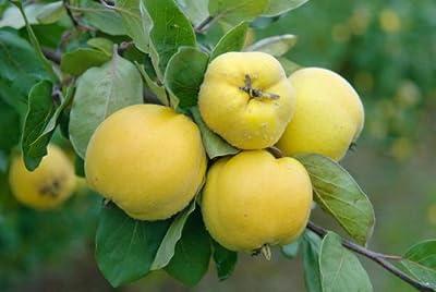 Quitte, Konstantinopeler Apfelquitte, 1 Busch von Amazon.de Pflanzenservice - Du und dein Garten