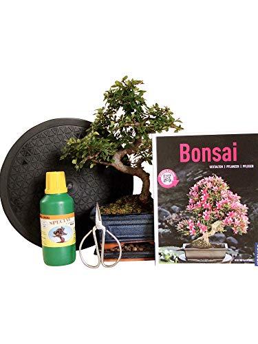 Anfänger Bonsai-Set Ulme - 6 teilig - ca. 30cm hoher Ulmen-Bonsai, 1 Schere, 1 Untersetzer, 1 Arbeitsdrehteller, 1 Flasche Dünger, 1 Bonsaibuch