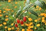 Gojibeere Turgidus (im grossen Container) - 2jährige, stark, ertragsbereite Pflanze im 5lt C