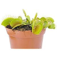 Venusfliegenfalle - Dionaea Muscipula - blühfähige Fleischfressende Pflanze