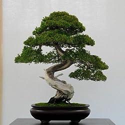 50 Wacholder Bonsai-Baum Topfblumen Büro Bonsai die Luft absorbieren schädliche Gase Wacholdersamen reinigen