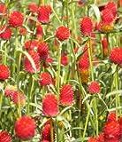 BloomGreen Co. Gomphrena haageana Erdbeereblume SEEDS (AVG 50-100) SEEDS X 6 PACKET