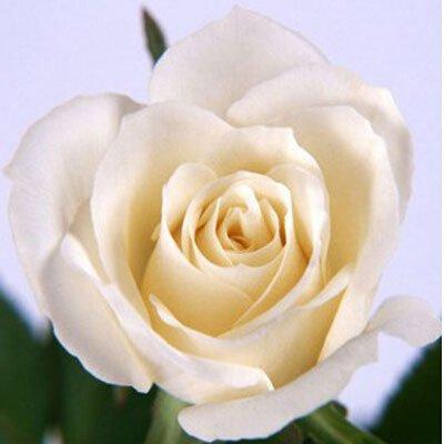 200pcs / Pack Rare Pays-Bas Rainbow Rose Flower Seed Outdoor Blooming Bonsai Plante en pot d'ornement pour jardin Décor Livraison gratuite 13