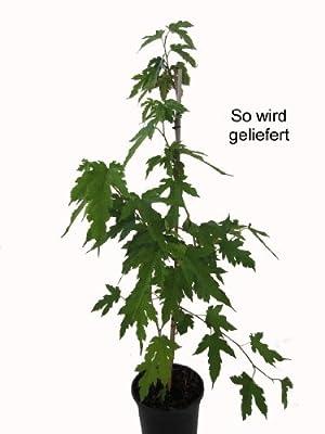 Platanenblättriger Maulbeerbaum, 1 Pflanze von Amazon.de Pflanzenservice auf Du und dein Garten