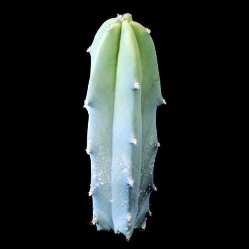 Myrtillocactus geometrizans - 20 Graines